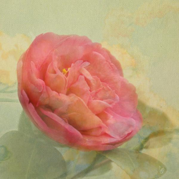 February Camellia Print by Cindy Garber Iverson