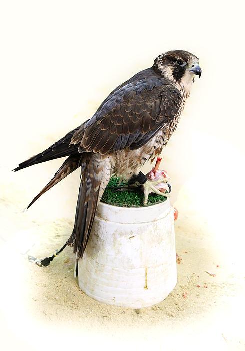 Feeding Falcon Print by Paul Cowan