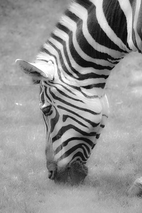 Steve McKinzie - Feeding Zebra