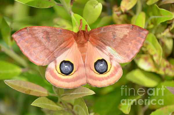 Kathy Gibbons - Female Io Moth