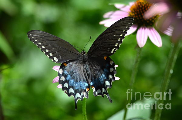 Kathy Gibbons - Female Spicebush Swallowtail