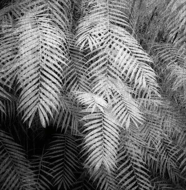 Fern Variations In Infrared Print by Andreina Schoeberlein