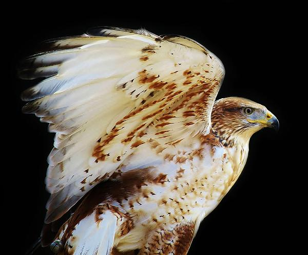 Ferruginous Hawk Print by Paulette Thomas