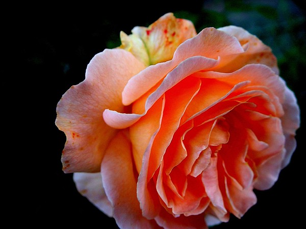 Feuerrose Print by Photo by Ela2007