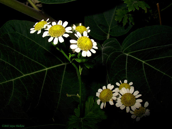 Joyce Dickens - Feverfew In Bloom