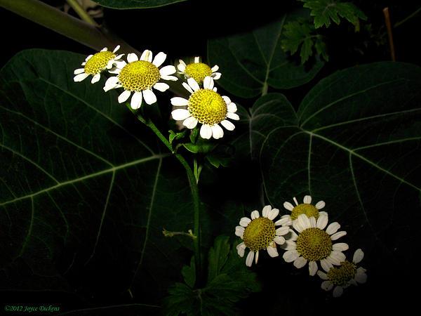 Joyce Dickens - Feverfew In Bloom