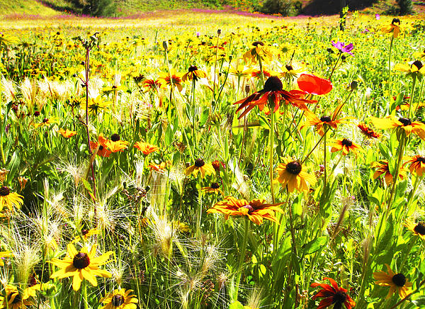 Field Of Bright Colorful Wildflowers Print by Anne Mott