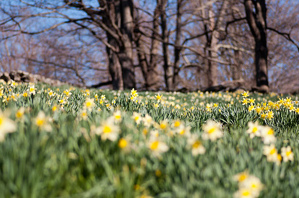 Field Of Daffodils Print by Ron Smith