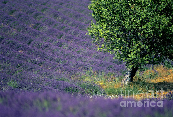 Field Of Lavender Print by Bernard Jaubert