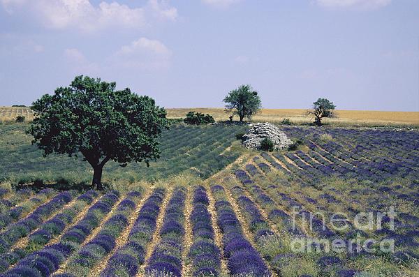 Field Of Lavender. Sault. Vaucluse Print by Bernard Jaubert