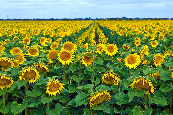 Field With Sunflowers In France Print by Www.bluemoonfotografie.nl