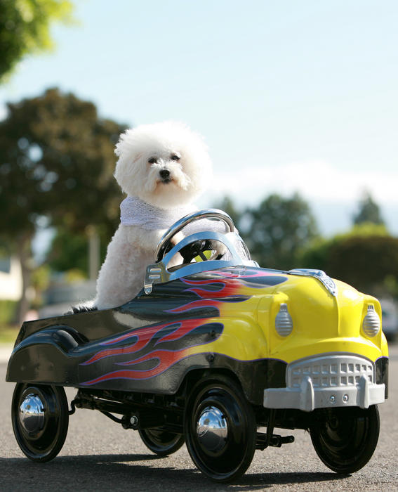 Fifi Goes For A Car Ride Print by Michael Ledray
