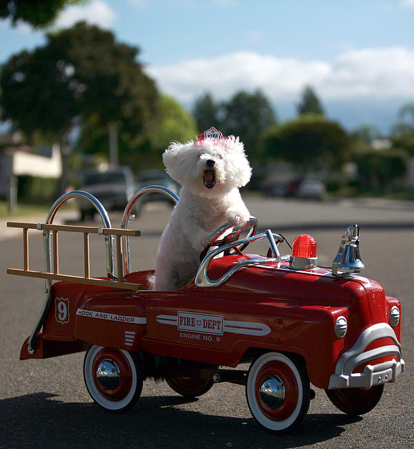 Fifi The Bichon Frise To The Rescue Print by Michael Ledray