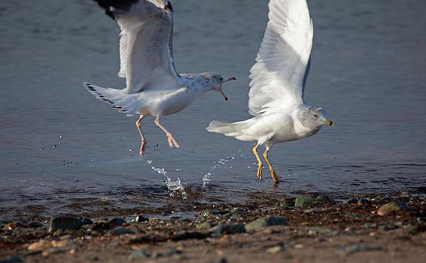 Fighting Gulls Print by Karol  Livote