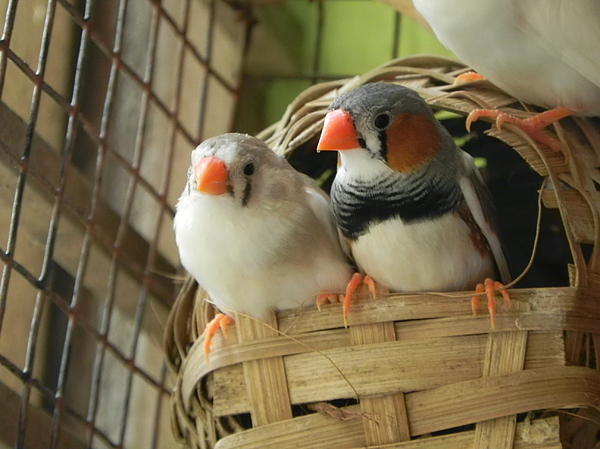 Finches In Their Nest Print by Arindam Raha