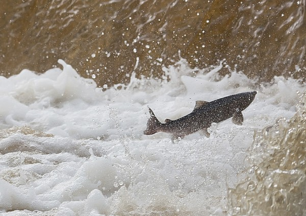 Fish Jumping Upstream In The Water Print by John Short
