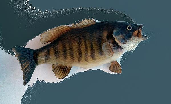 Fish Mount Set 10 B Print by Thomas Woolworth