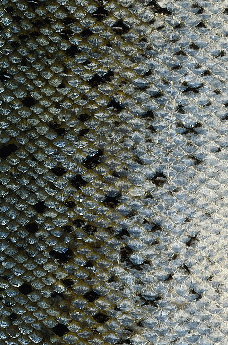 Fish scales by siede preis for Mlf fishing scale