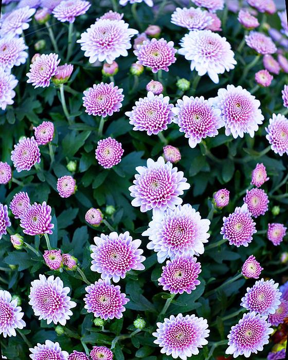 Fisheye Of Pink Flowers Print by Malania Hammer