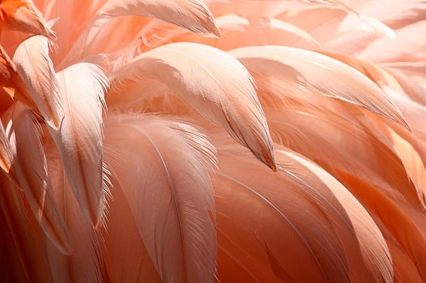 Flamingo Feathers Print by Paulette Thomas
