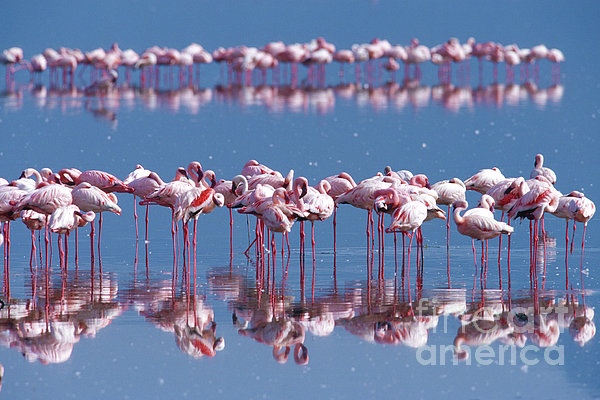 Flamingo Reflection - Lake Nakuru Print by Sandra Bronstein
