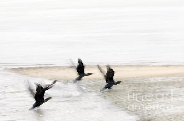 Flight Of The Cormorants Print by David Lade