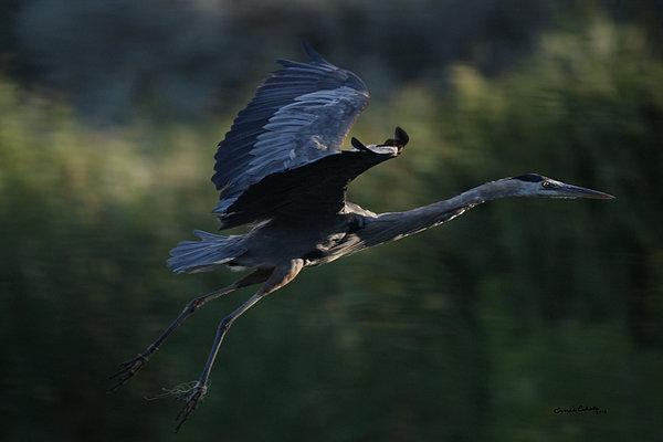 Ernie Echols - Flight of the Heron