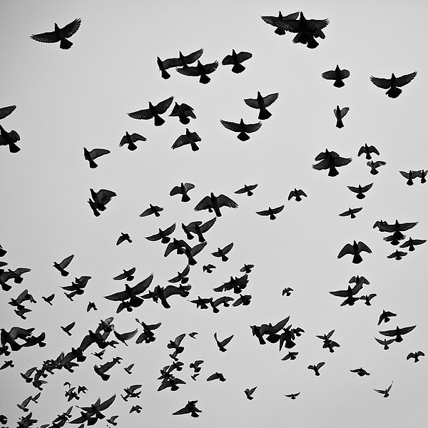 Flock Of Flying Pigeons Print by Photography by Ellen L. Soohoo