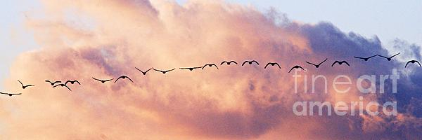 Flock Of Geese At Sunset Print by Larry Ricker