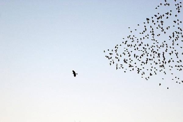 Flock Of Sturnus Vulgaris Flying Print by FotoFalk