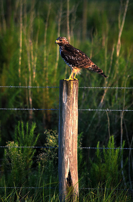 Florida Red-shouldered Hawk Print by Ronald T Williams