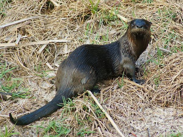 Lynda Dawson-Youngclaus - Florida River Otter
