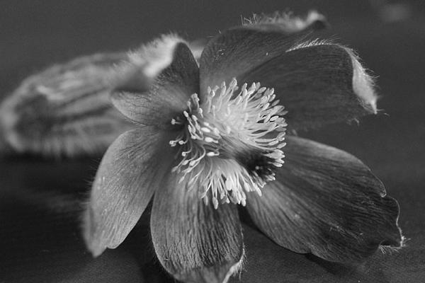Flower In Black And White Print by Mark J Seefeldt