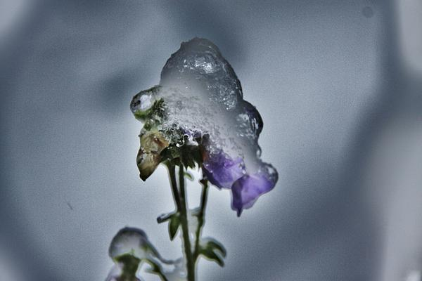 Sergey and Svetlana Nassyrov - Flower in ice