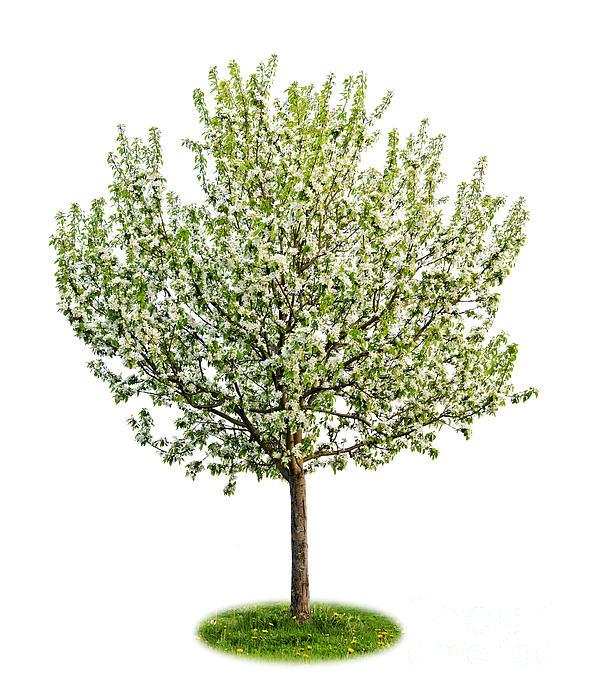 Flowering Apple Tree Print by Elena Elisseeva