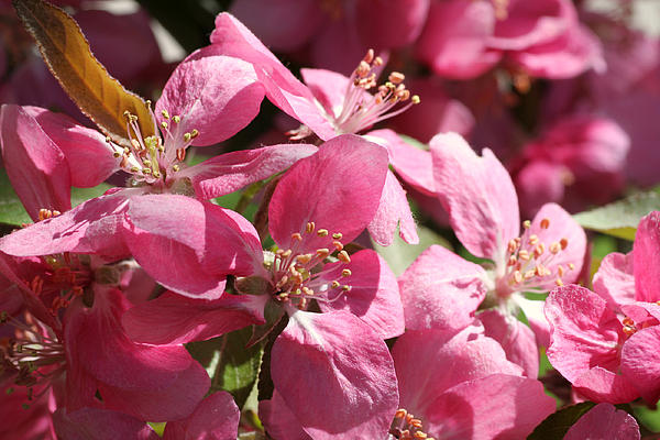 Flowering Crabapple In Bloom Print by Mark J Seefeldt