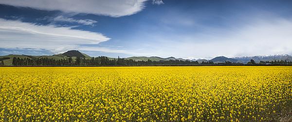Flowering Mustard Crop In Canterbury Print by Colin Monteath