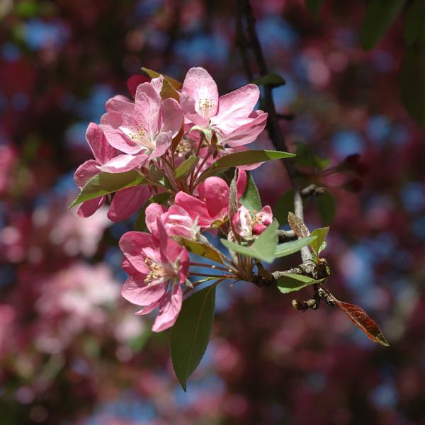 Flowering Pink Dogwood Print by Frank Mari