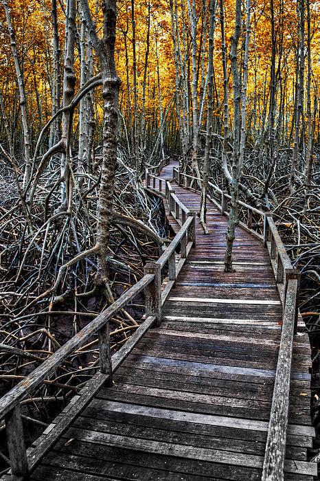 Footpath In Mangrove Forest Print by Adrian Evans