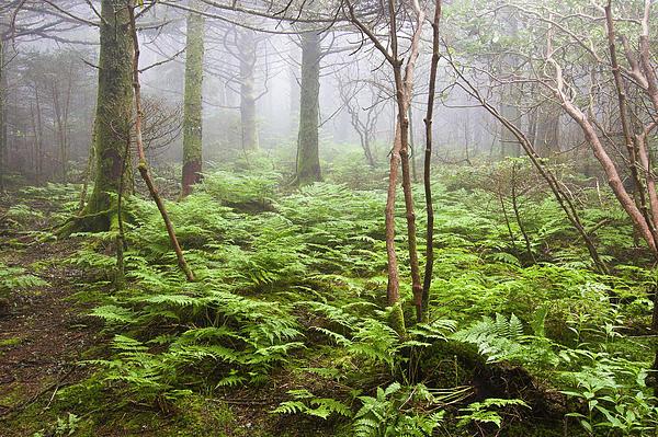 Bill Swindaman - Forest Ferns on a Foggy Morning
