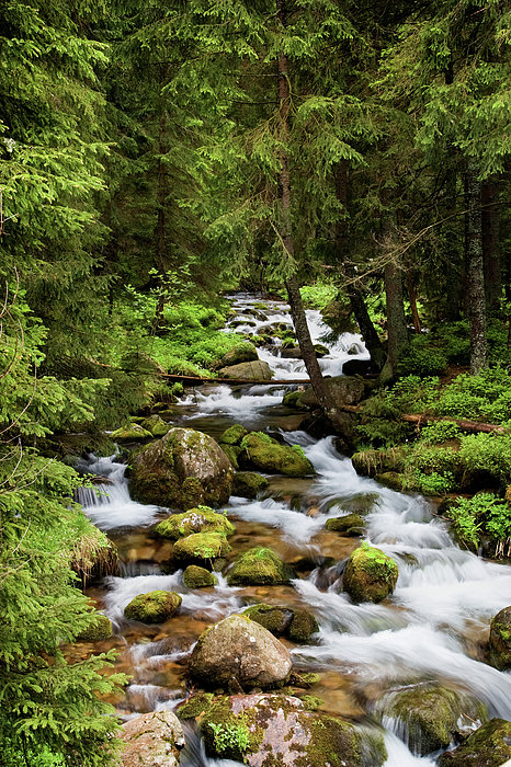 Forest Stream In Tatra Mountains Print by Artur Bogacki