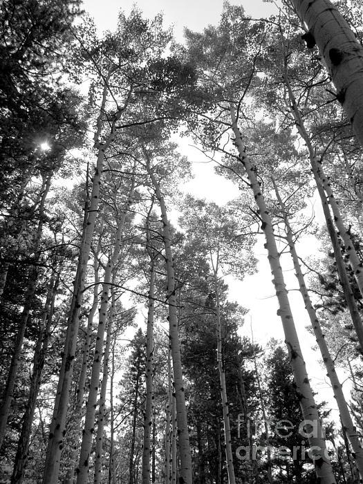 Minden Ten Eyck - Forest With Aspen Trees