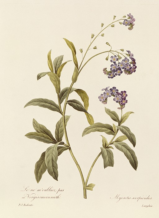 Forget Me Not Print by Pierre Joseph Redoute
