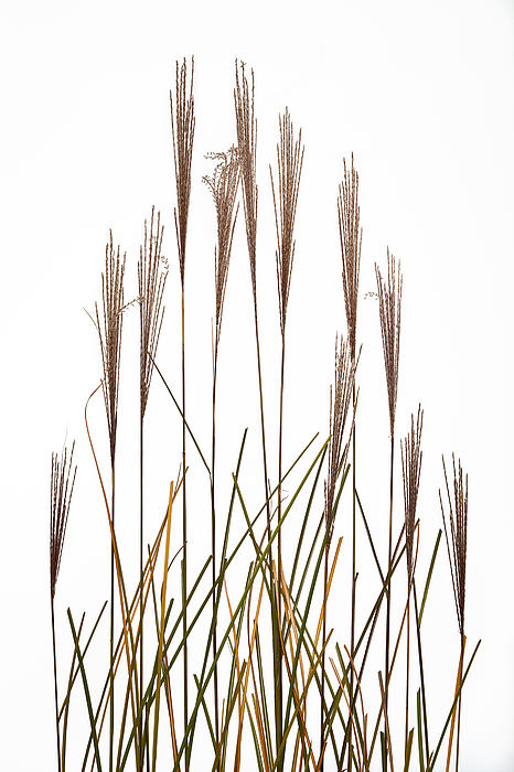 Fountain Grass In White Print by Steve Gadomski
