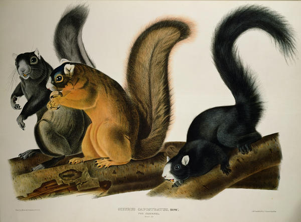 Fox Squirrel Print by John James Audubon