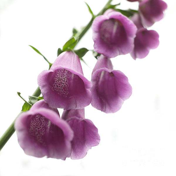 Foxglove Flowers Print by Tony Cordoza