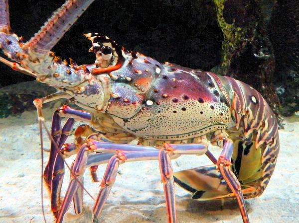 Rosalie Scanlon - Fresh Lobster
