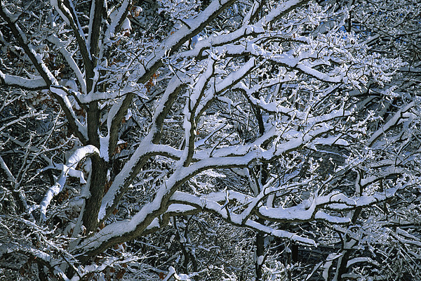 Fresh Snowfall Blankets Tree Branches Print by Tim Laman