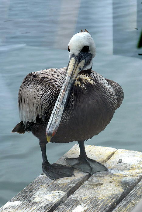 Carla Parris - Friendly Pelican