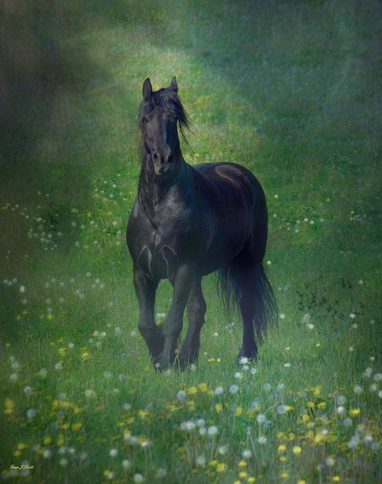Fran J Scott - Friesian Mist